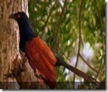 coucal in pocharam wild life sanctuary