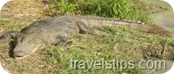 crocodile in manjira wild life sanctuary