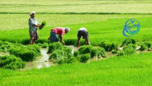 Kakinada-Paddy-Fields